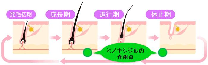 毛髪のライフサイクル
