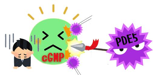 カマグラはPDE5を抑制し、cGMPにより勃起不全を解消