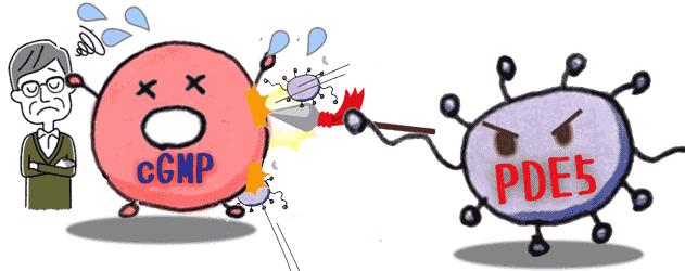 バイアグラの勃起収束酵素をシルデナフィルが抑制する